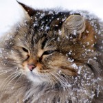 Fluffy Cat in the Snow